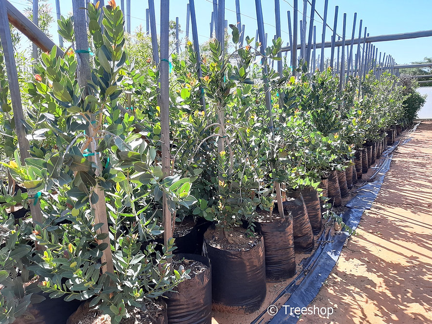 Waterberry for sale | Waterbessie | Syzygium cordatum.jpg