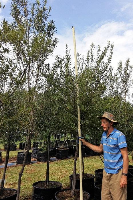 Buddleya saligna | Witolien | False Olive in 100L for sale