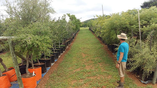 View of Treeshop's 100L trees for sale