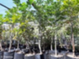 Cabbage tree for sale | Gewone kieprsol | Cussonia spicata.jpg