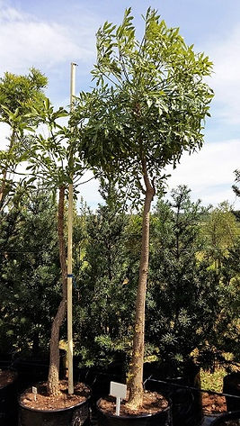 Gewone kiepersol in 100L te koop | Cussonia spicata