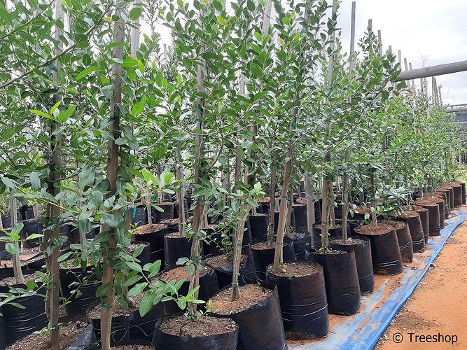 White-pear for sale | Witpeer boom | Apodytes dimidiata.jpg|