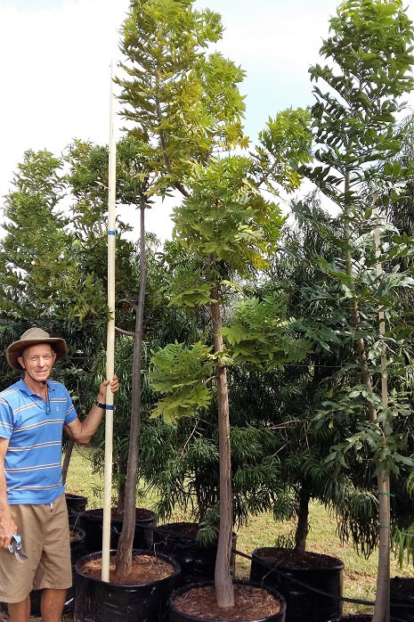 Harpephyllum caffrum | Wildepruim | Wild Plum for sale