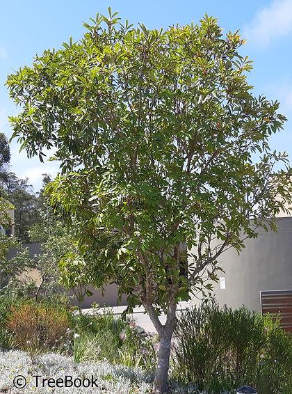 Cunonia capensis | Red alder | Flowering tree