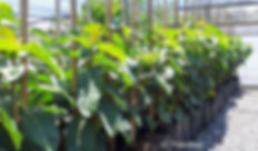 ficus lutea | Giant-leaved fig in 50L for sale