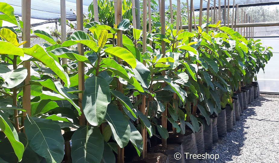ficus lutea | Giant-leaved fig for sale | REuseblaarvy