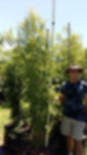 Lavender tree for sale | Heteropyxis natalensis in100L for sale