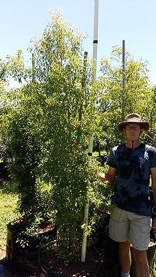 Groot Laventelboom te koop. Heteropyxis natalensis in100L