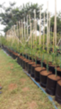 View of Treeshop's 50L trees for sale