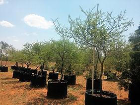Groot Haak-en-steek te koop. Acacia tortillis in 450L te koop