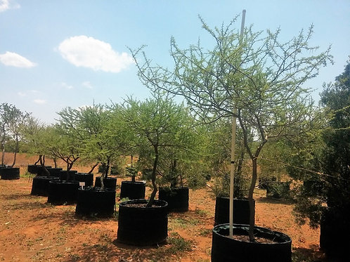 Acacia/Vachellia tortilis | Umbrella Thorn | Haak-en-steek in 450L for sale