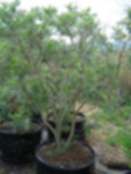 Corkbush tree for sale in 100L | Mundulea sericia