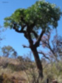 Cussonia transvaalensis | Grey cabbage tree