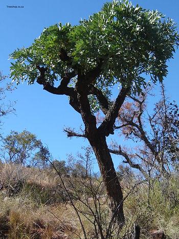 Vaalkiepersol | Cussonia transvaalensis. Waterberg