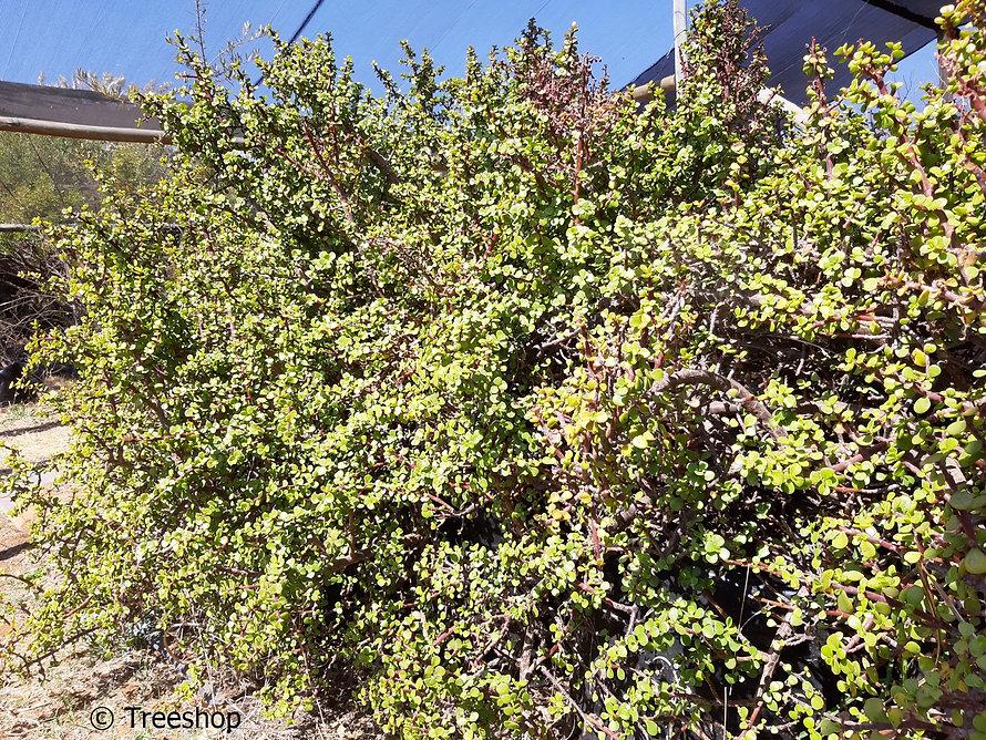 Porkbush tree for sale | Spekboom | Portulacaria afra.jpg