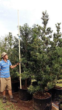 Opregte geelhout | Podocarpus latifolius in 100L
