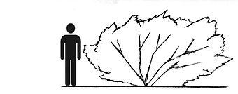 searsia erosa-icon.jpg
