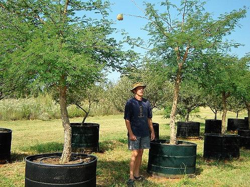 Acacia/Vachellia galpinii   Monkey Thorn   Apiesdoring in 450L for sale