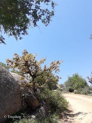 Diospyros mespiliformis African Bonsai. growing in Kruger National Park