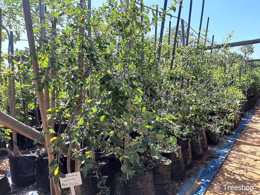 Red-ivory tree for sale | Rooi-ivoor boom | Berchemia zeyheri.jpg