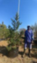 Podocarpus elongatus 100L for sale | Breeder River Yellowwood