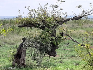 Marula african bonsai. Kruger National Park