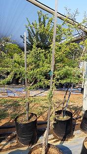 Lekkerruikpeul te koop in 50L | Vachellia nilotica