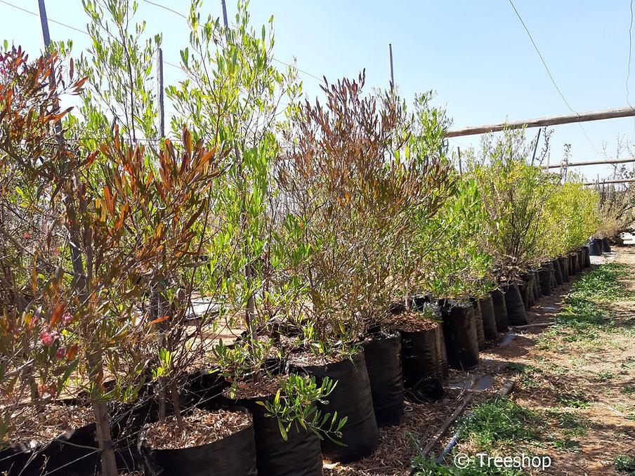 Sand-olive tree for sale | Sandolien | Dodonaea viscosa.jpg
