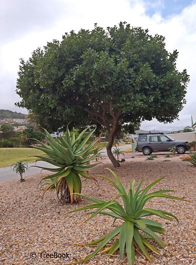 Sideroxylon inerme (White milkwood) used in a water-wise garden as focal point and shade tree.