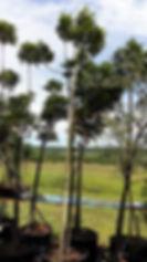 Cape ash tree for sale | Ekebergia capensis in100L for sale