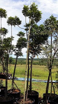 Essenhout te koop | Ekebergia capensis in 100L te koop