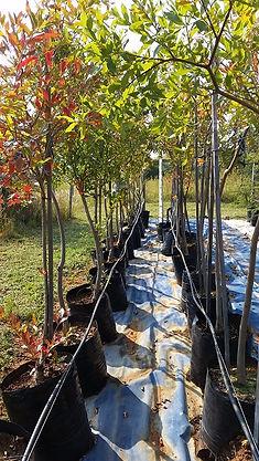 Riviervaderlandswilg in 50L te koop. Combretum erythrophyllum