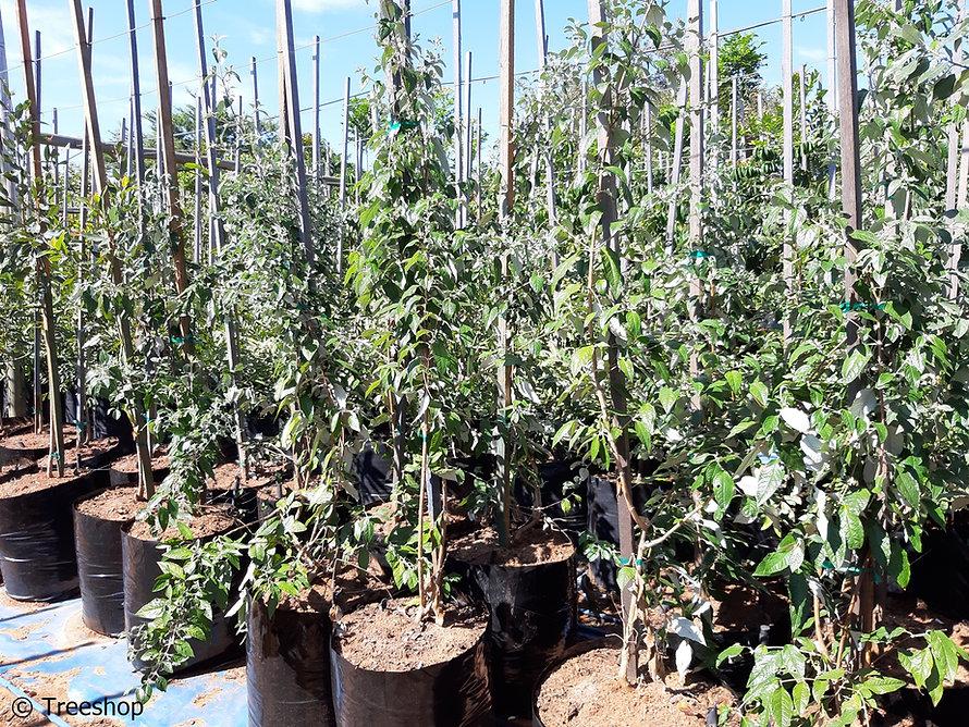 Weeping sagewood for sale | treursaliehout | Buddleja auriculata.jpg