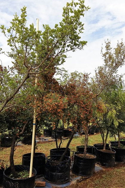 Combretum hereroense | Kierieklapper | Russet Bushwillow for sale