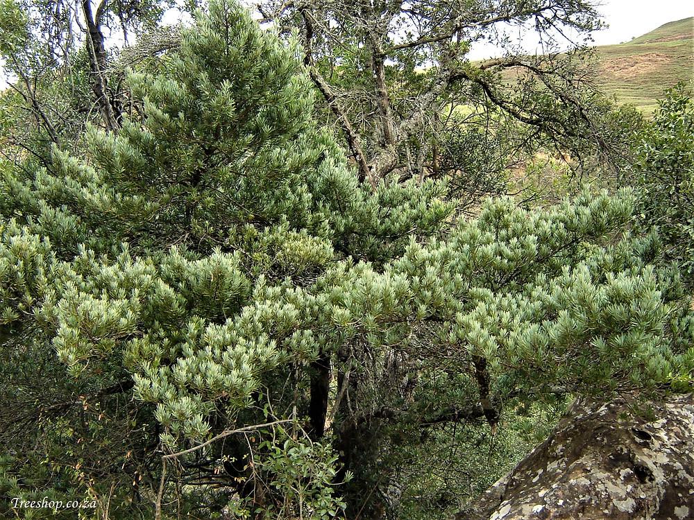 Real Yellowwood, Podocarpus latifolius