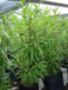 Matumi tree in 50L for sale | Breonadia salicina