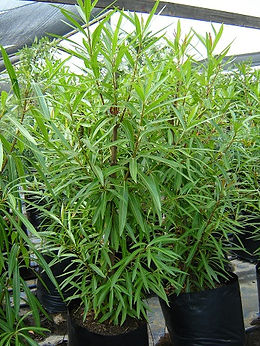 Mingerhout in 50L te koop | Breonadia salicina