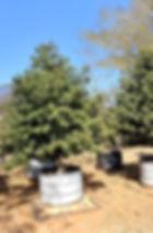 Podocarpus henkelii in 450L for sale | Henkel's Yellowwood