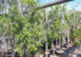 Horsewood tree for sale | Perdepis, Perdebos boom | Clausena anisata.jpg