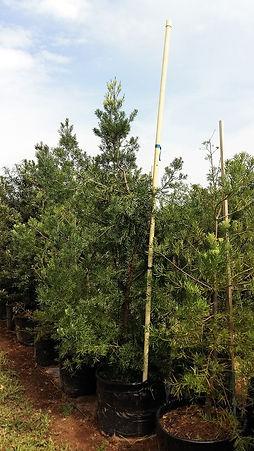 Outeniekwageelhout | Podocarpus falcatus in 100L