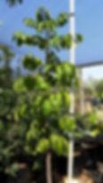 Natal Mahogany | Trichilia emetica in 50L for sale