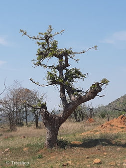 Marula African Bonsai, Kruger National Park