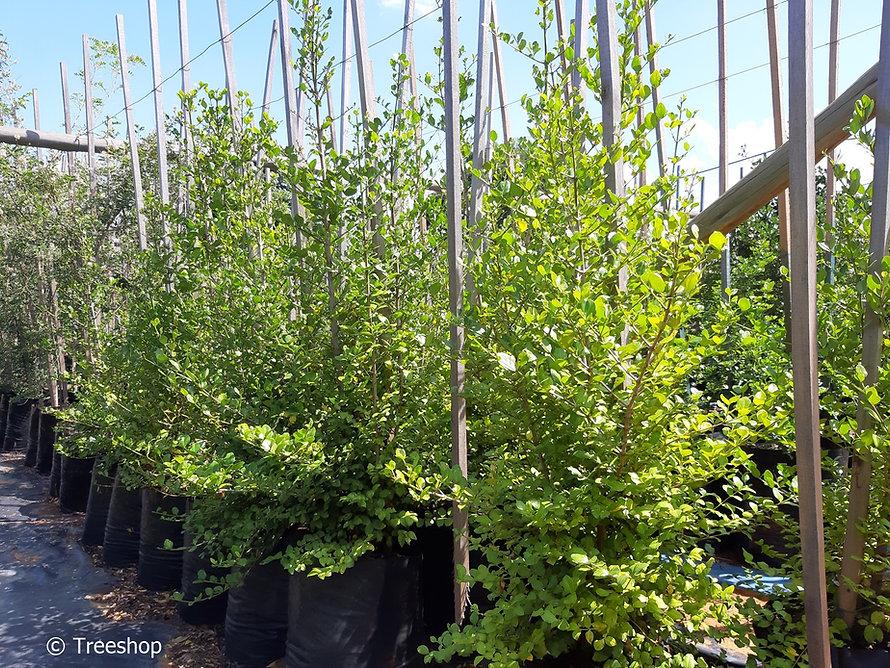 Quar tree for sale | Kwar boom | Psydrax obovata C.jpg