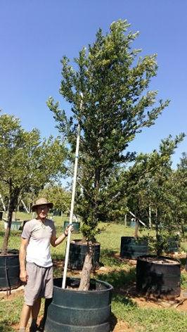 Opregte geelhout | Podocarpus latifolius in 450L