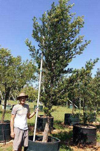 Podocarpus latifolius   Real Yellowwood   Opregte Geelhout in 450L for sale