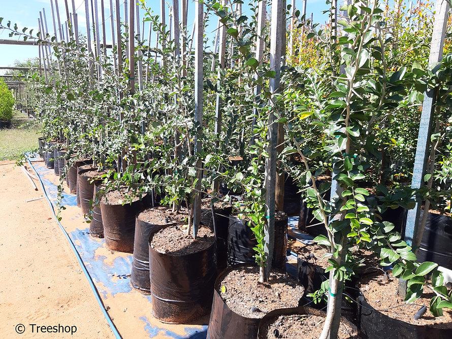 Kei-apple tree for sale | Kei-appel boom | Dovyalis caffra.jpg