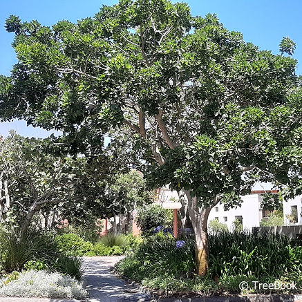 Erythrina caffra | Coast corral tree planted in a large garden