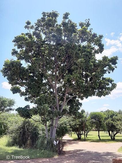 Khaya anthotheca   Red mahogany   Fast growing shade tree