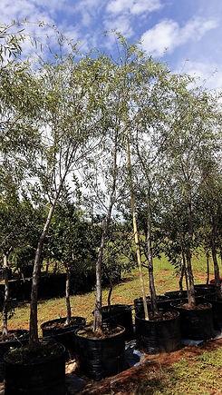 Kaapse wilger in 100L te koop | Salix mucronata