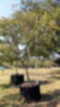 Large Lavender tree for sale | Heteropyxis natalensis in 450L for sale